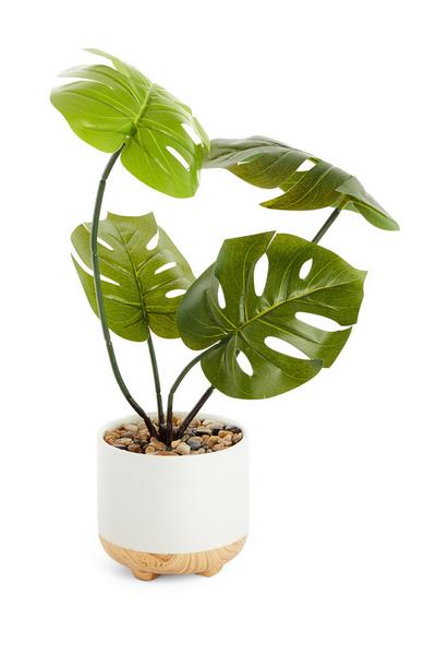 Kaasplant in witte pot